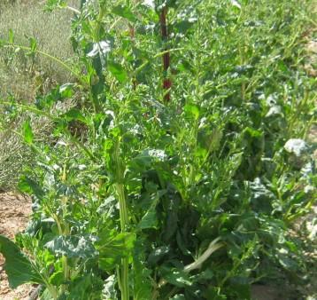 acelga-semillas-eco