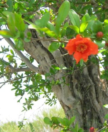 granado-ecologico-flor