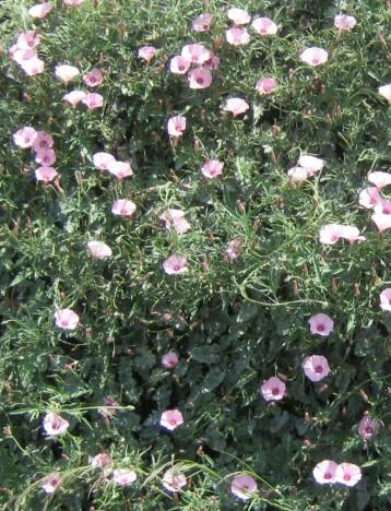 hierba-con-flor