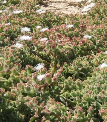 hierba-helada-flor