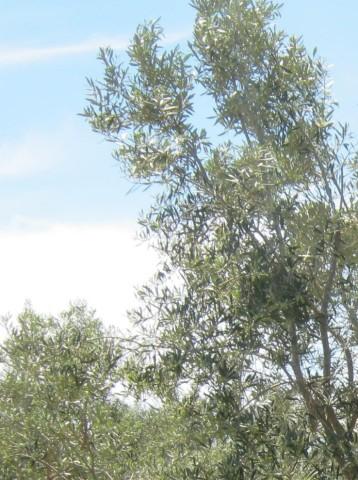 olivos-ecologicos