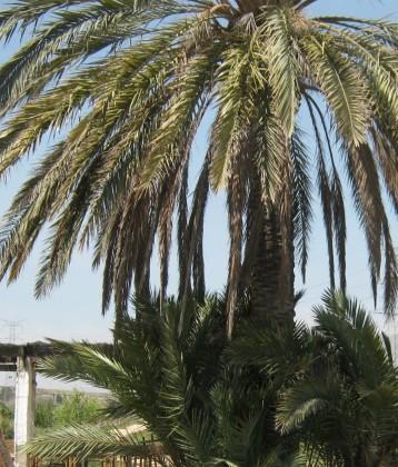 palmera-huerto