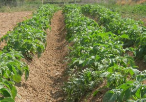 patata-ecologica-2234