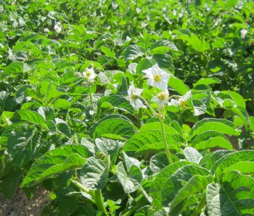 patata-ecologica-29