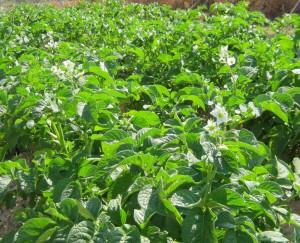 patata-ecologica-flor-29
