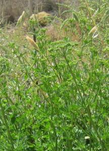 perejil-para-semillas