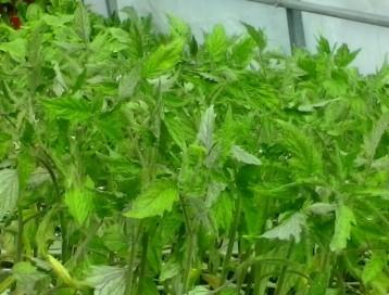 plantrones ecologicos tomates