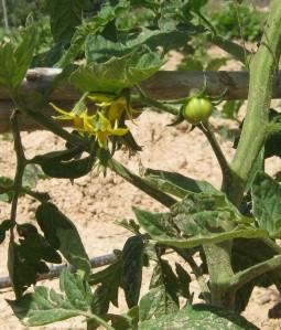 tomate-ecologico