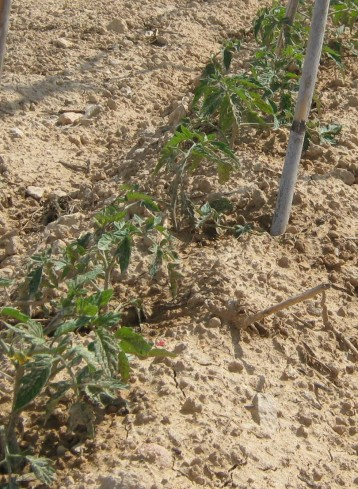 tomate-pera-ecologicos-22