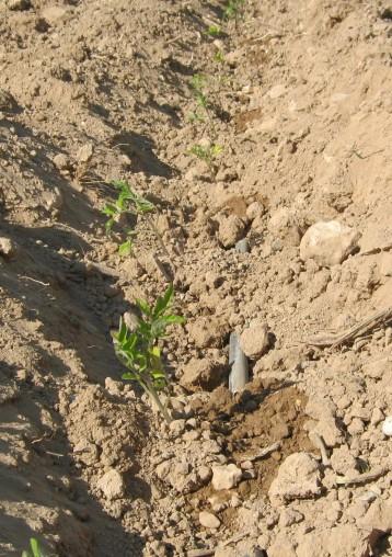 tomate-povedilla-ecologica-29