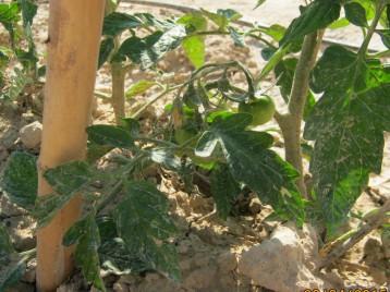 tomates-ecologicos-29