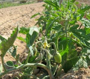 tomates-ecologicos-292