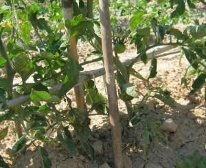tomates-ecologicos-293