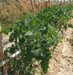 tomates-ecologicos-294