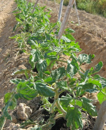 tomates-ecologicos-2956