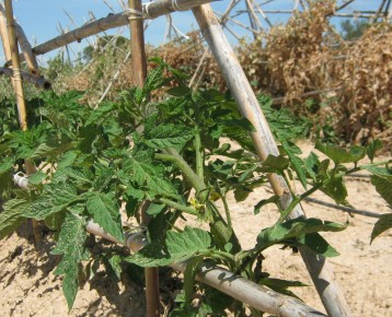 tomates-ecologicos