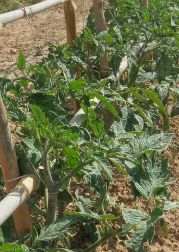 tomates-ecologicos2244