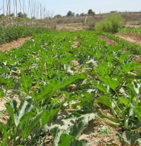 calabacines-ecologicos-11