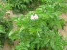 patata-ecologica-043