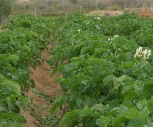 patata-ecologica-04333