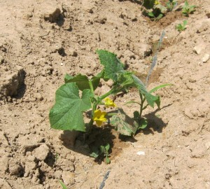 pepino-ecologico-11777