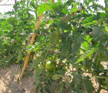 tomate-ecologico-11888