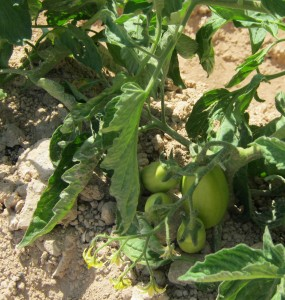 tomate-pera-ecologica-11