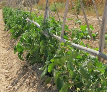 tomate-pera-ecologica-11666