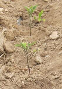tomate-povedilla-ecologica-04