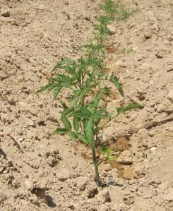 tomate-povedilla-ecologica-11