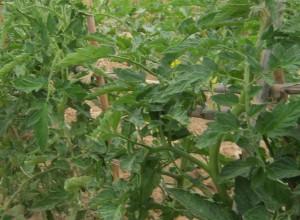 tomates-ecologicos-04