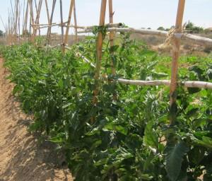tomates-ecologicos-11666