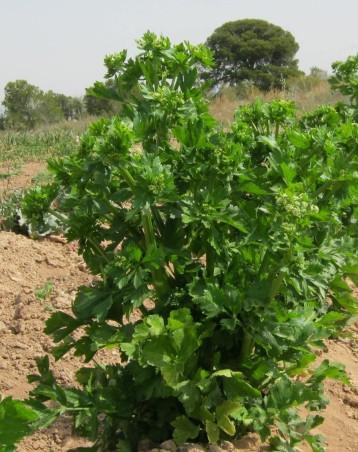 apio-ecologico-para-semillas-19
