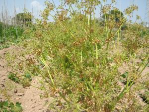 apio-semillas-ecologico-5678