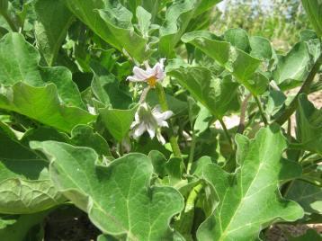 berenjena-flor-gandia-eco