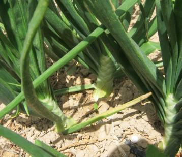 cebolla-valenciana-ecologica