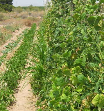 judias-verdes-ecologicos-44
