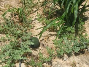 sandia-ecologica-77444