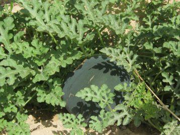 sandia-negra-ecologica