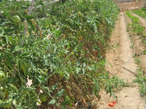 tomate-en-ramen-eco-77