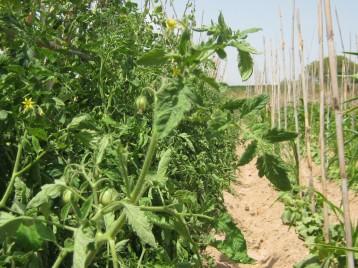 tomate-pera-555