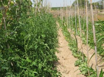 tomate-pera-ecologica-244
