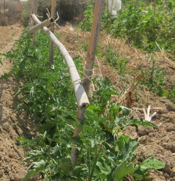 tomate-povedilla-ecologica