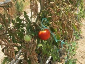 tomate-ramen-ecologicos