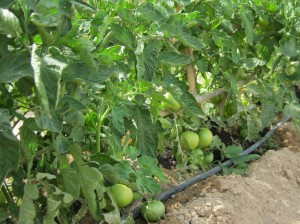 tomates-ecologicos-19