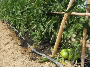 tomates-ecologicos-1933