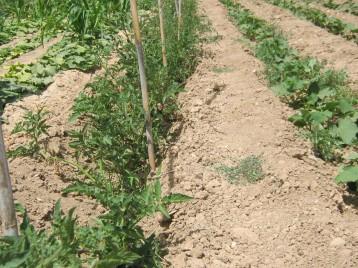 tomates-ecologicos-6678