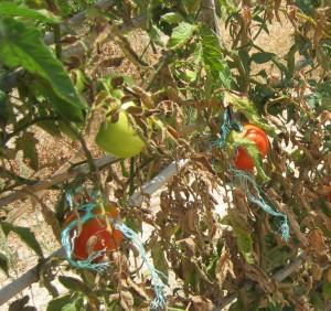 tomates-=en-ramen-ecologicos