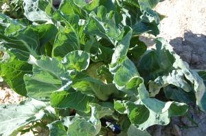 brócoli blanco