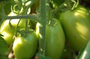 tomate pera 1 (1)
